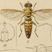 Drawing of a wasp