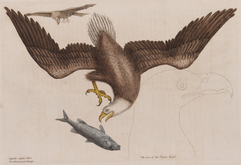 The bald eagle from volume 1 of The Natural History of Carolina, Florida and the Bahama Islands, by Mark Catesby (1731)