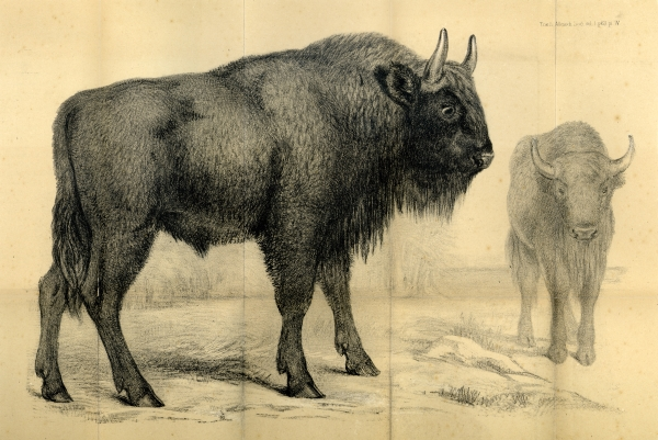 Picture of aurochs from the Transactions of the Allelodidactic Society