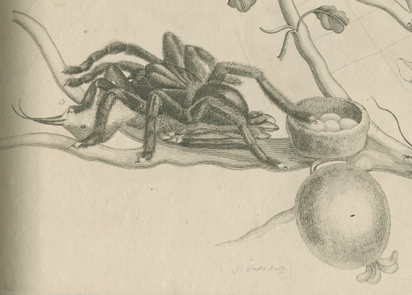'Bird-eating spider with humming bird', by Maria Sibylla Merian, 1705
