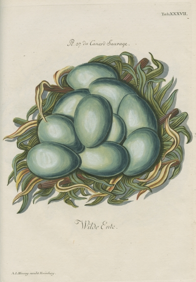 Eggs of the 'Canard Sauvage' by Adam Ludwig Wirsing
