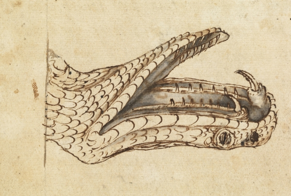 Drawing of a viper's head by Robert Hooke, 1664