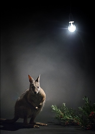 Wallaby with artificial light source