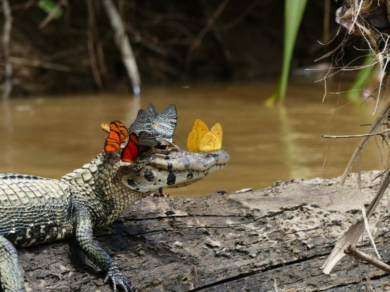 Mark Cowan: Butterflies and caiman – Special commendation