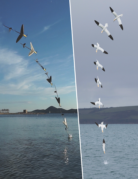 Comparing the flight trajectory of a man-made aircraft and a gannet