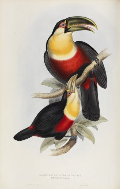 Red-breasted toucan, by John and Elizabeth Gould