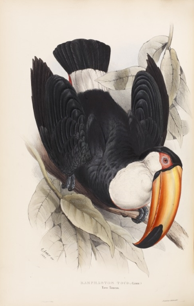 The toco toucan, by Edward Lear