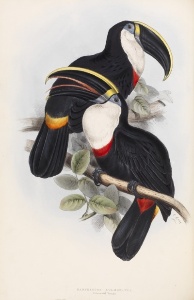The culmenated toucan, by Edward Lear