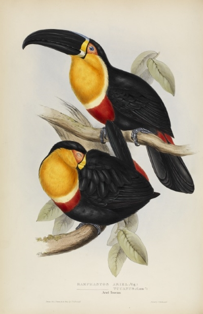 The ariel toucan, by John and Elizabeth Gould