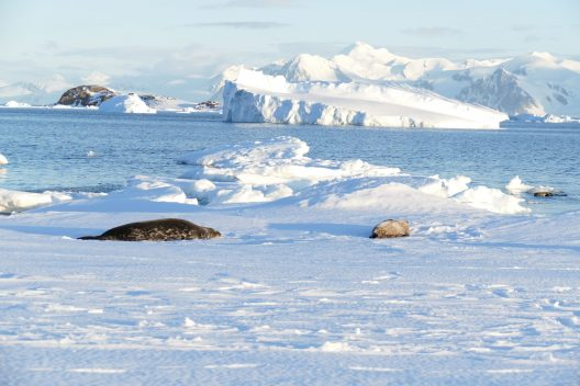 Weddell seals and icebergs at Rothera Point, Antarctica