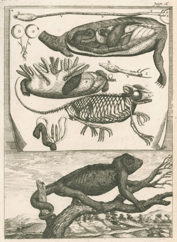 Richard Waller's reproduction of Le Clerc's plate 'Engraving of the chameleon', 1688