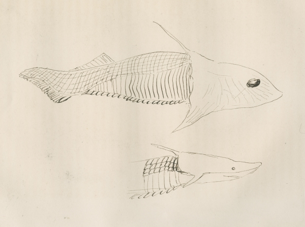 Fish left within Louis Agassiz's work on fossils