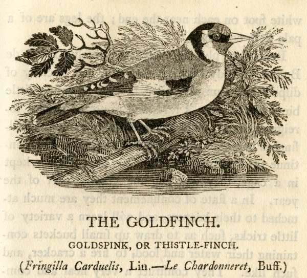 Goldfinch, by Thomas Bewick