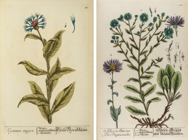 Cyanus major (cornflower) and Aster atticus (European Michaelmas-daisy), from Herbarium Blackwellianum