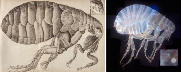 Fleas from Hooke's Micrographia (1665) and photographed Dr Brad Amos FRS using a mesolens (2010)