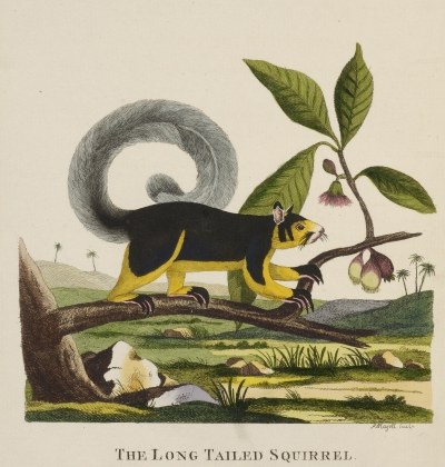 Indian giant squirrel by Thomas Pennant, 1790