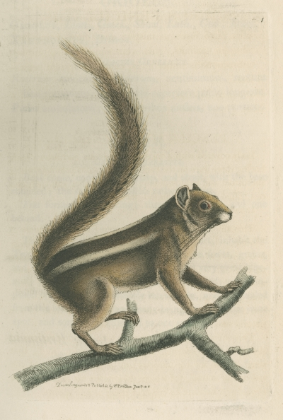 Indian palm squirrel by Richard Polydore Nodder, 1815