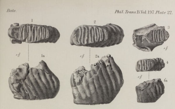 The molars of Elephas cypriotes, discovered by Dorothea Bate