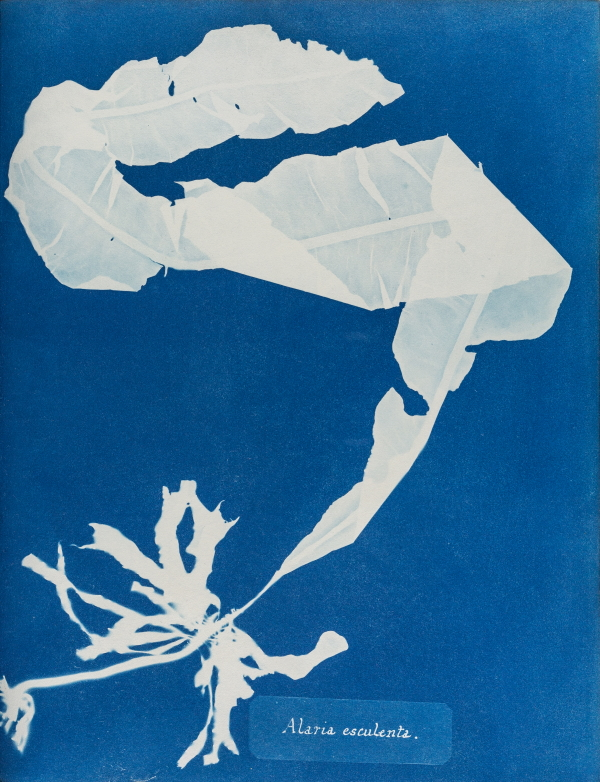 Anna Atkins, Alaria esculenta, from British algae volume I, 1843