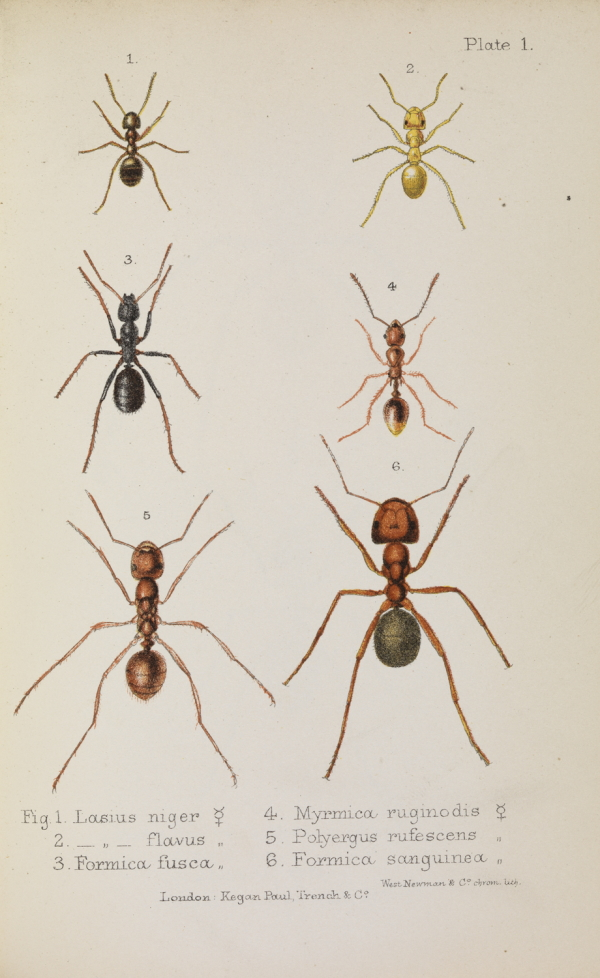 Plate 1 from 'Ants, bees and wasps' by John Lubbock, 1882