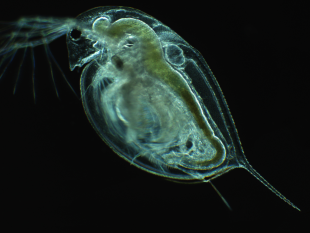 Centuries-old Daphnia pulicaria from South Center Lake (MN, U.S.A.). Photo courtesy of Dagmar Frisch