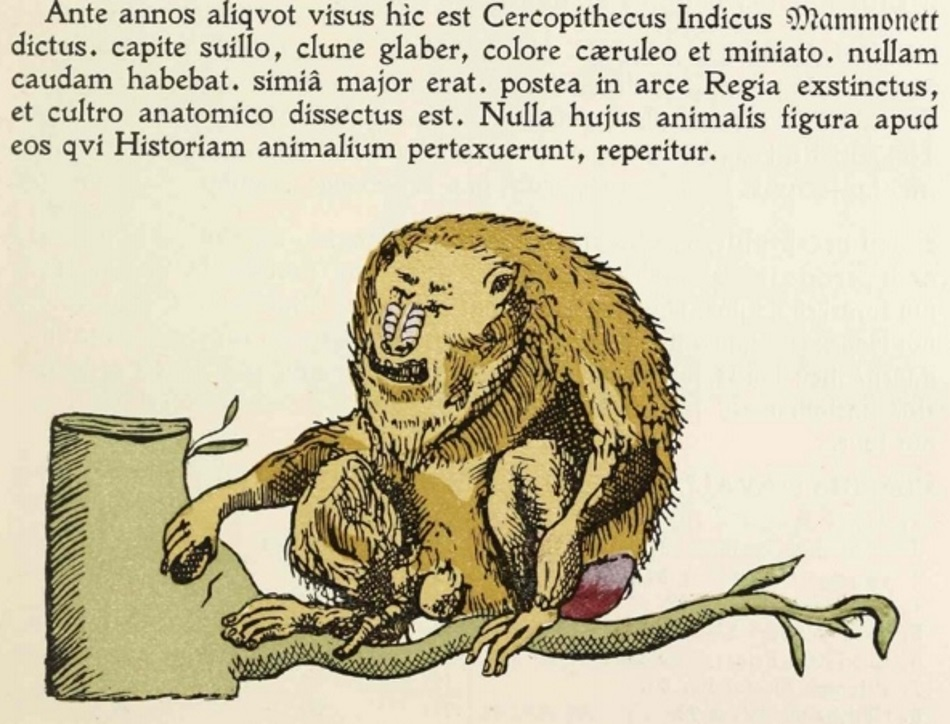 Mammonett, a male mandrill, that lived in the King of Denmark's gardens. Illustration from Holger Jacobaeus 'Rejsebog' (1671-92)