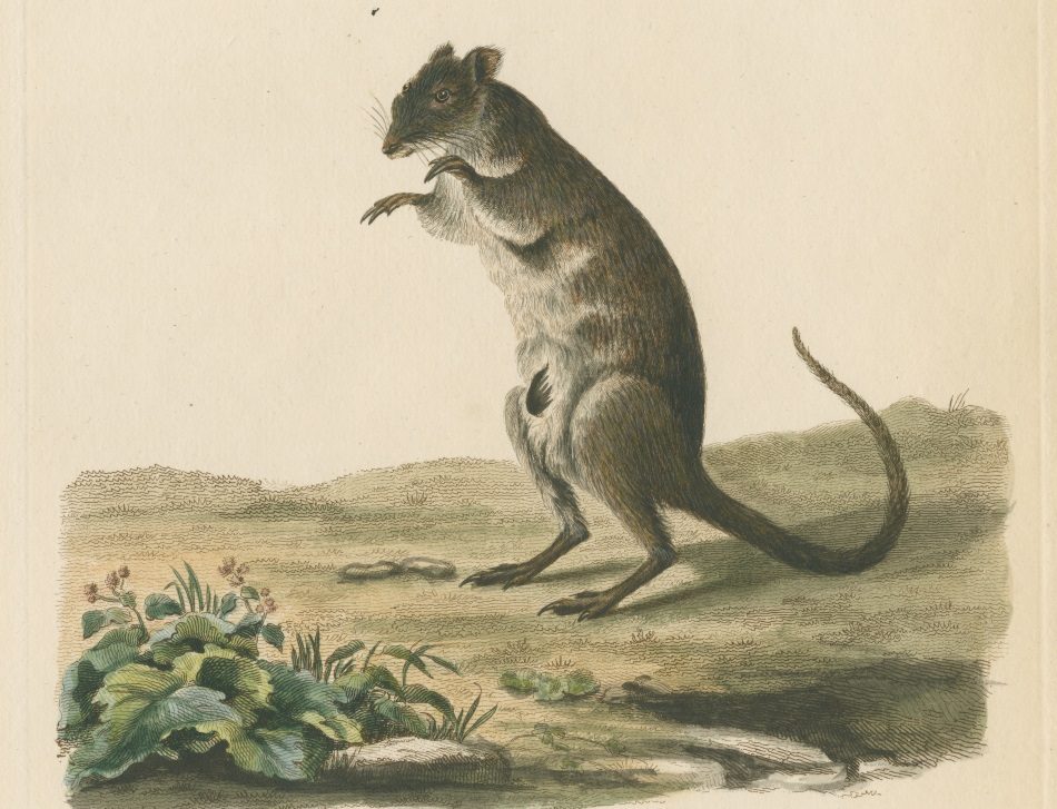 Zoological study of the Long-nosed potoroo (Potorous tridactylus) sometimes known as the rat-kangaroo.