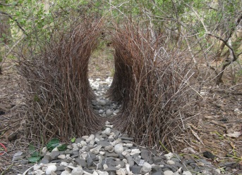 The bower of a male great bowerbird in Australia. Image credit: L Kelley