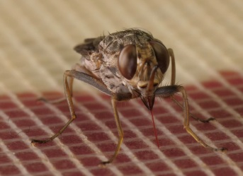 Dr English studies the tsetse fly which is shown here in a magnified image.