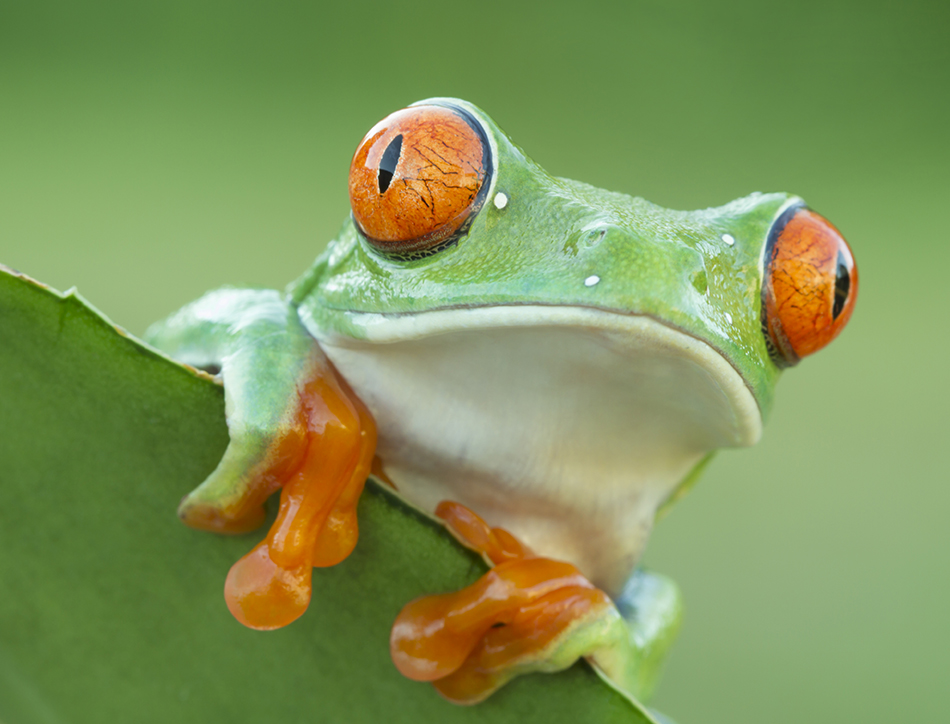 Red-eyed Tree Frog peeping over plant