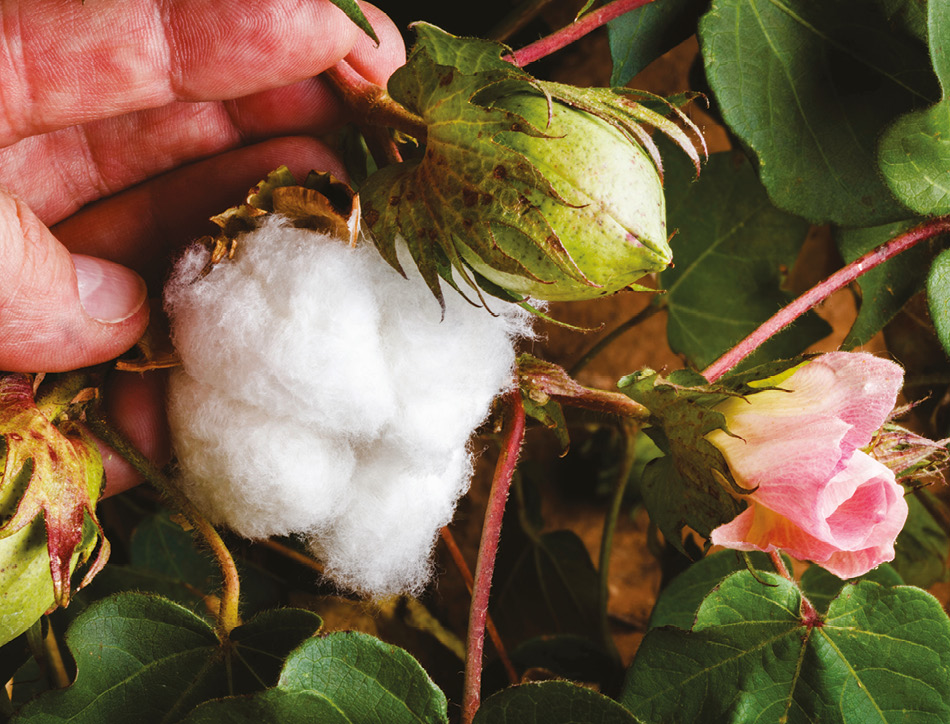Cotton plant. Copyright David Sucsy