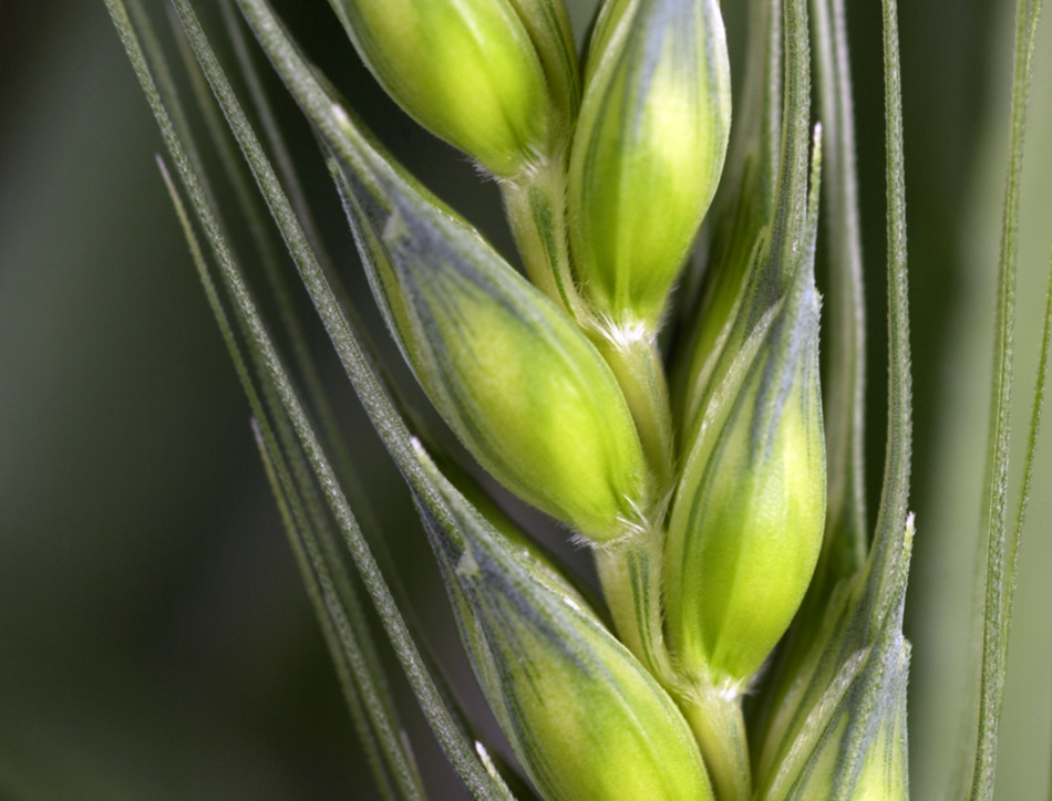 Genetically modified (GM) plants: questions and answers | Royal Society