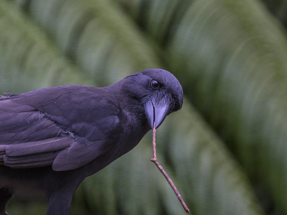 A captive Hawaiian crow using a stick tool to extract food from a wooden log. Hawaiian crows have relatively straight bills and highly mobile eyes that may aid their handling of bill-held tools. Credit: Ken Bohn / San Diego Zoo Global.