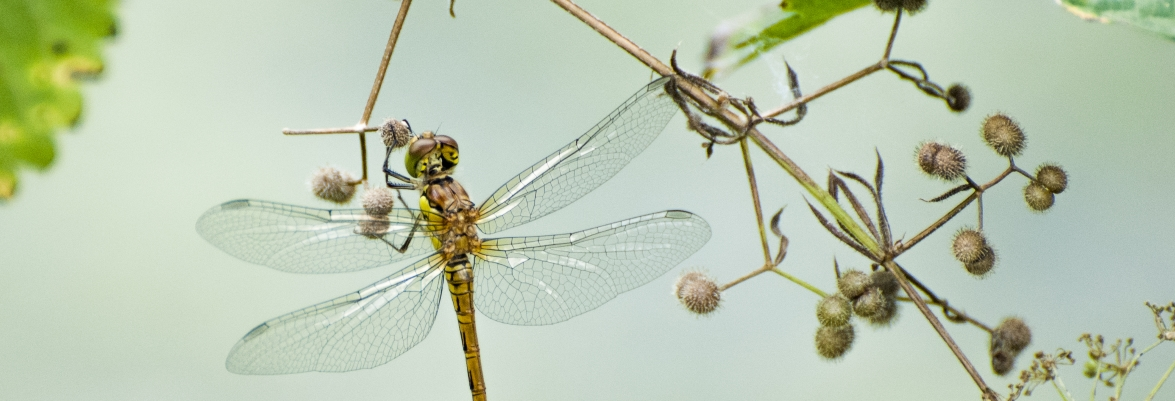 The sensory wings and visual tracking of dragonflies are providing bioinspired solutions for engineers and scientists today. Credit: Marsel Minga