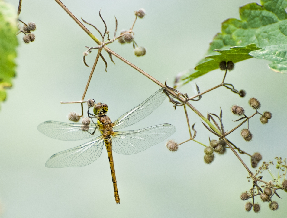 The sensory wings and visual tracking of dragonflies are providing bioinspired solutions for engineers and scientists today. Credit: Marsel Minga/Flickr