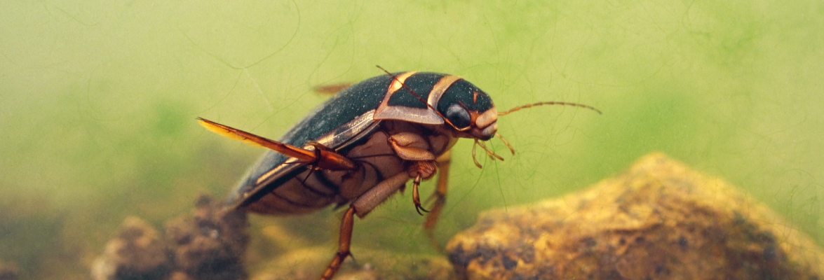 A Great Diving Beetle in a pond. Not enough is yet known about the impact of climate change on these habitats, but this exhibit shows how a school in the UK is at the forefront of freshwater ecosystem research. Credit: Ocs_12