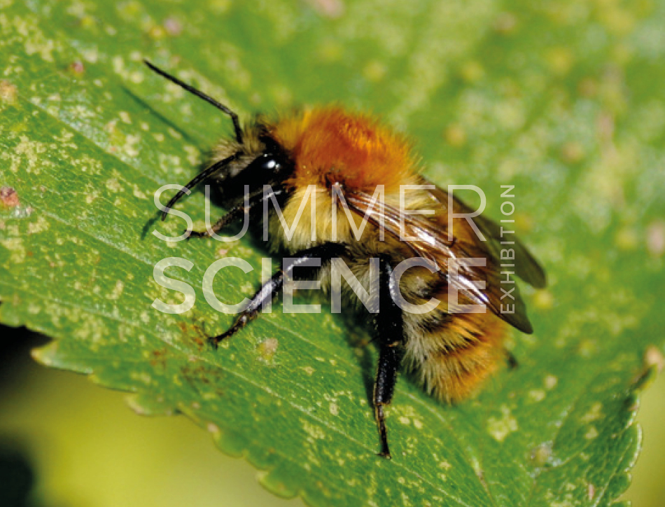Summer Science Exhibition: a bee landed on a leaf