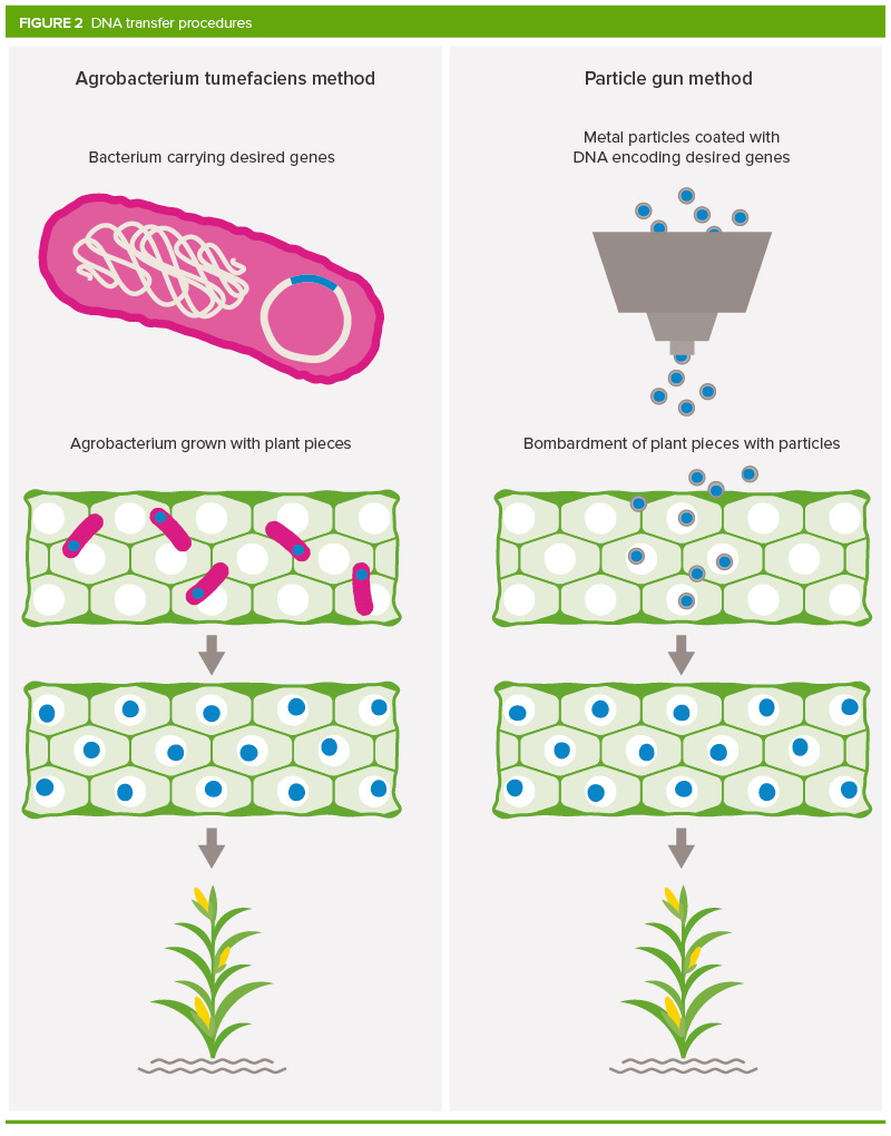 What Is Gm >> What Are Gm Crops And How Is It Done Royal Society