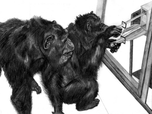 Drawing of apes by Amy Whiten