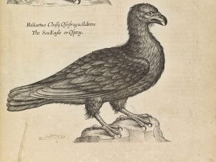Willughby's eagle