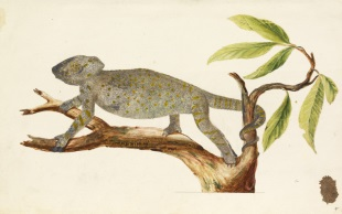 Egyptian chameleon by Richard Waller (1668) © The Royal Society