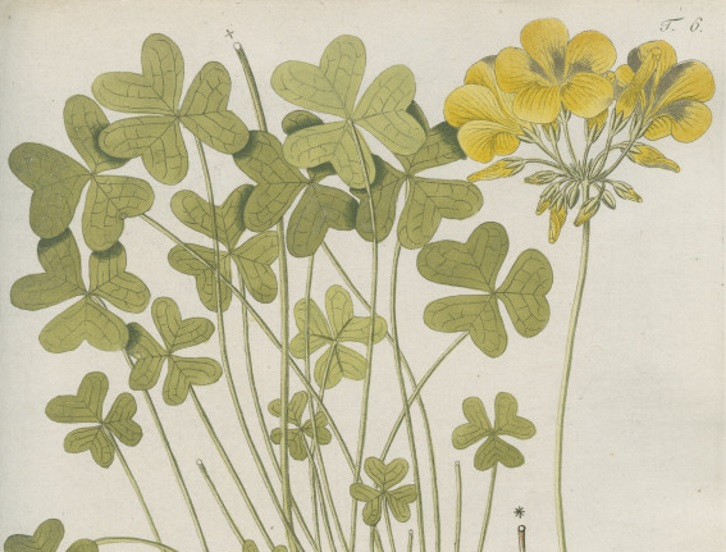 Botanical study of African woodsorrel [Oxalis pes-caprae] a plant native to South Africa