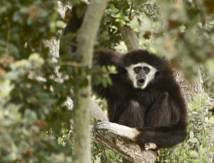 Gibbon in a tree