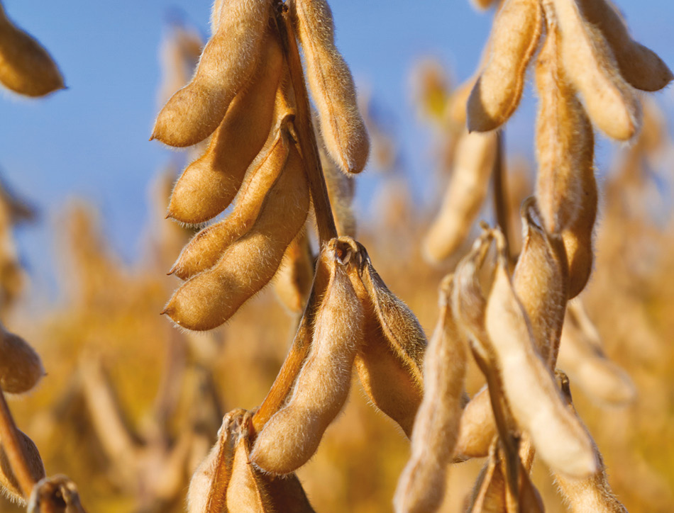 Soybeans. Copyright Ghornephoto
