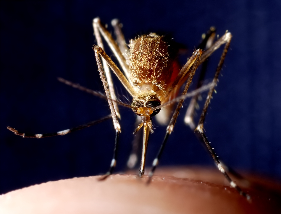 Oxford scientists could hold the key to the world's first effective malaria vaccine. Credit: CHBD