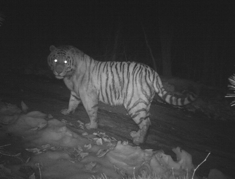 Camera trap image of an Amur tiger. Credit: ZSL