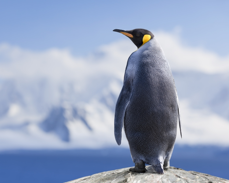 Emperor penguin standing on a rock